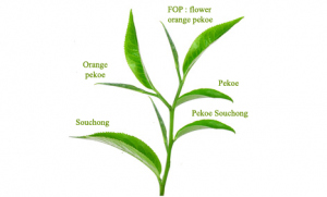 grades des feuilles de thé - en aparthé