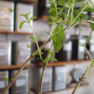 Salon boutique de Thé et café - en aparthé - verveine